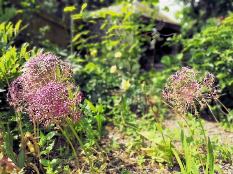 Cottage Garden with Aliums