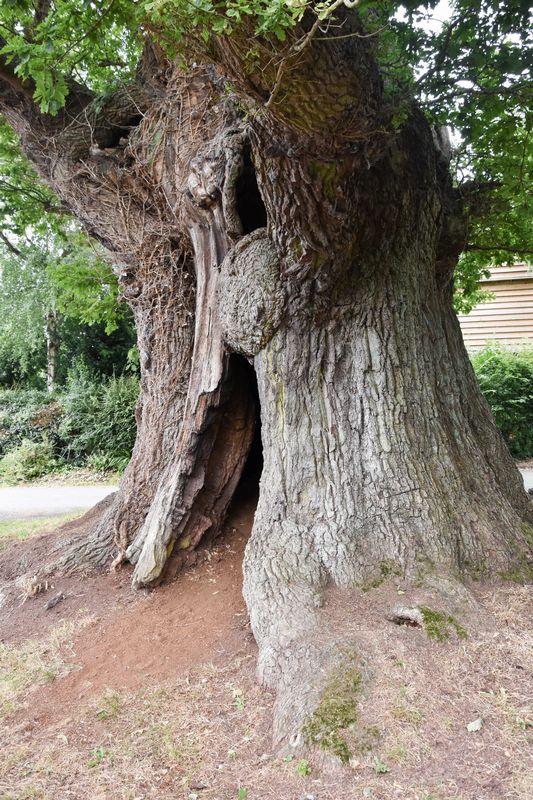 Great Oak Eardisley