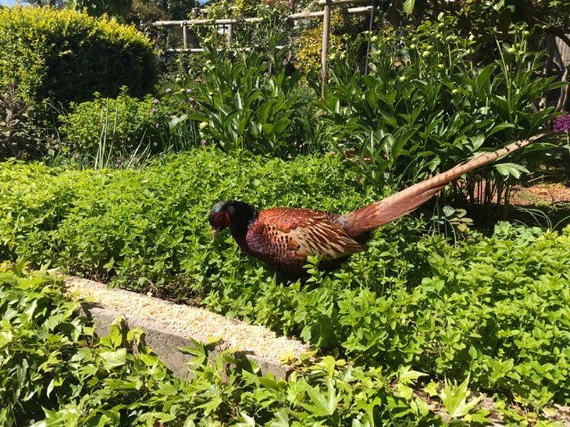 Pheasant Enjoying the Summer Garden