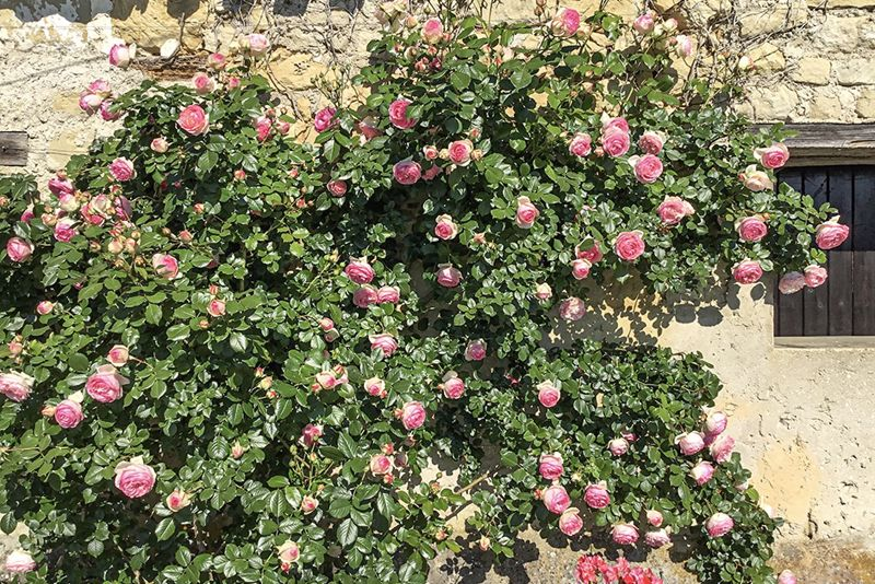 One of the climbing roses